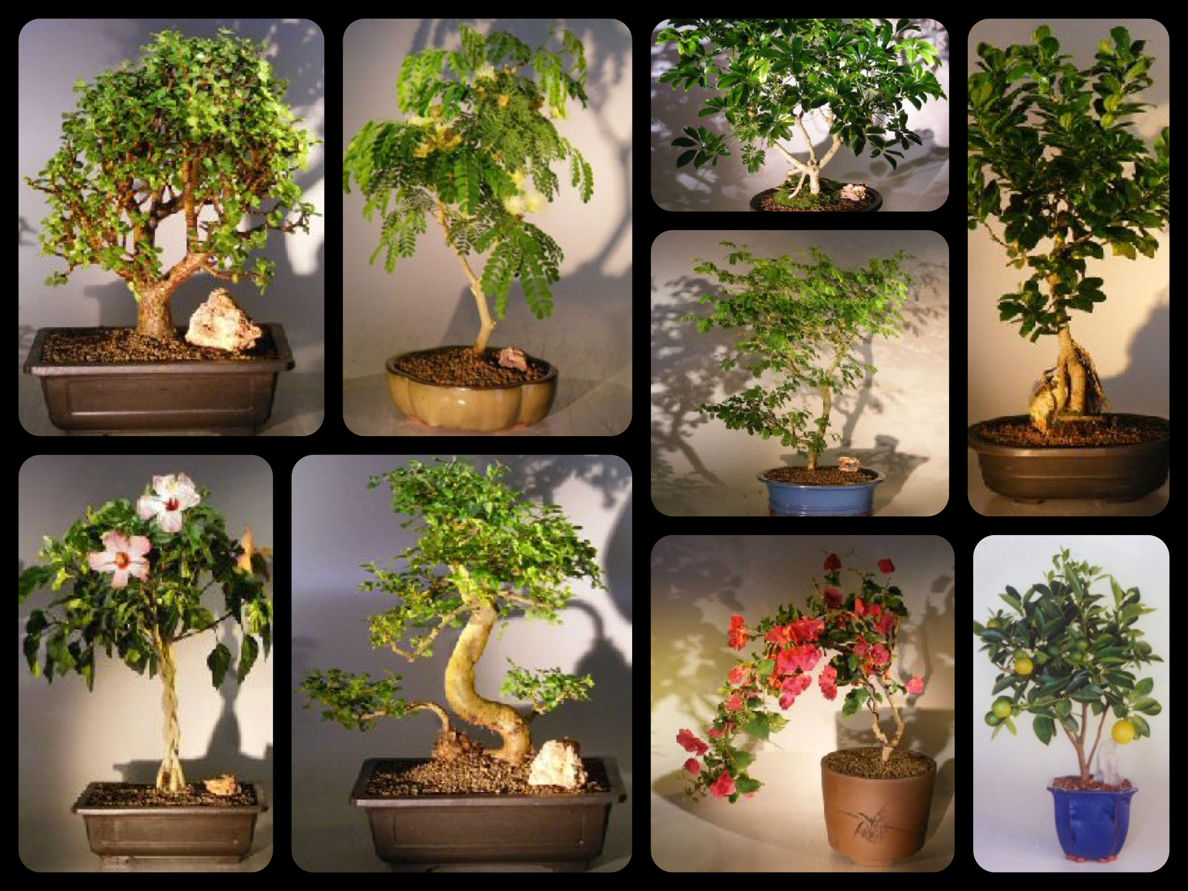 Bonsai Tree | Good Fortune & Happiness | Best Realtor Gifts | Real Estate Client Gifts