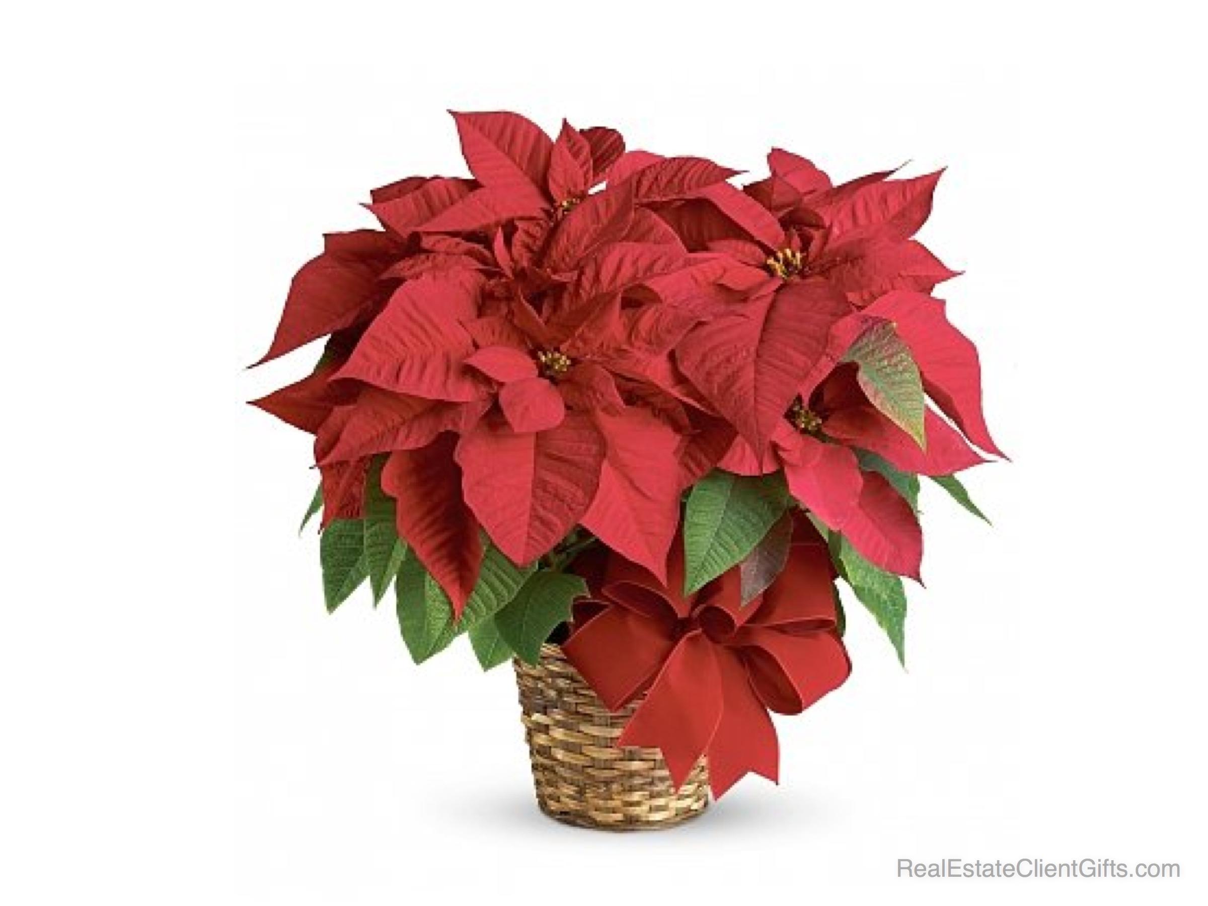 Realtor Christmas Gift Idea - Stunning Red Poinsettia